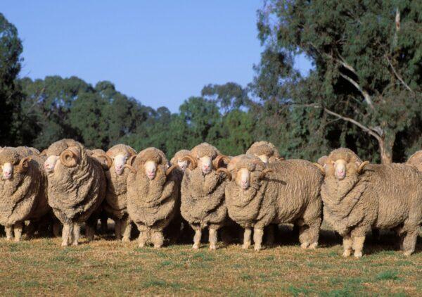 Meriino lambadmeriino lambad